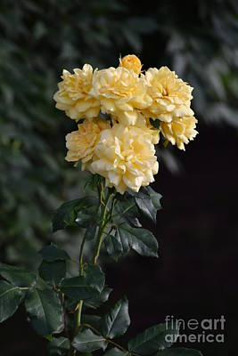 Photograph - Yellow Roses by Mark McReynolds