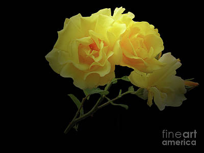 Photograph - Yellow Roses On Black by Victoria Harrington