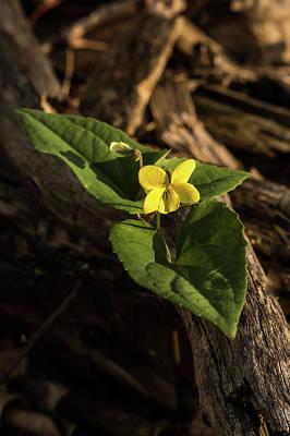 Photograph - Yellow Round Leafed Rundifolia by Douglas Barnett