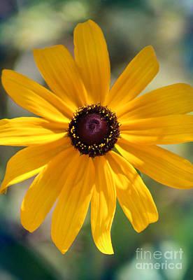 Photograph - Yellow Rudbeckia Sunshine by Karen Adams