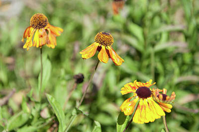 Photograph - Yellow Rudebeckia by Helen Northcott
