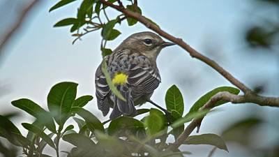 Photograph - Yellow Rump Warbler by Carol Bradley