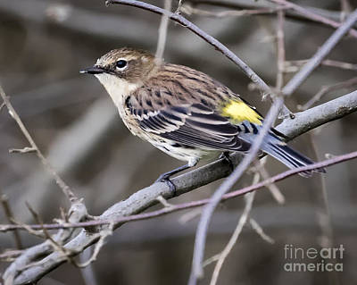 Photograph - Yellow-rumped Warber In Fall Colors by Ricky L Jones