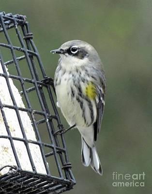 Photograph - Yellow Rumped Warbler 1 by Lizi Beard-Ward