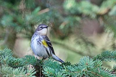 Photograph - Yellow- Rumped Warbler 2 by Michael Peychich