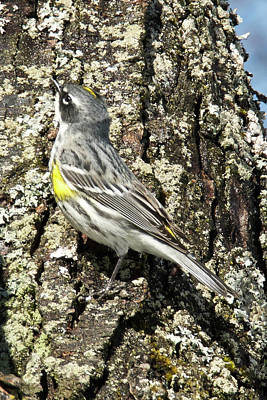 Photograph - Yellow-rumped Warbler 3174 by Michael Peychich