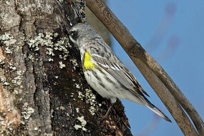 Photograph - Yellow-rumped Warbler 3181 by Michael Peychich