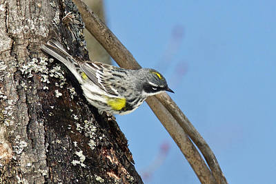 Photograph - Yellow Rumped Warbler 3182 by Michael Peychich