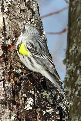 Photograph - Yellow Rumped Warbler 3188 by Michael Peychich
