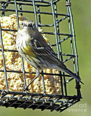 Photograph - Yellow Rumped Warbler 9 by Lizi Beard-Ward