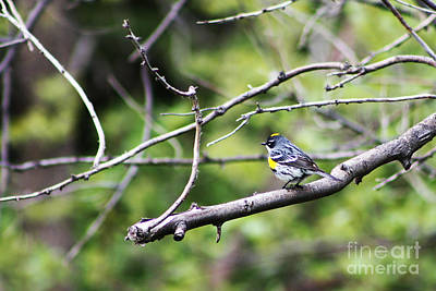 Photograph - Yellow-rumped Warbler by Alyce Taylor