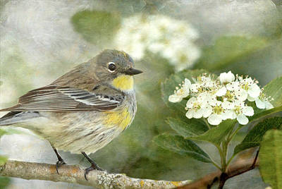 Photograph - Yellow-rumped Warbler And Hawthorne Blossoms by Angie Vogel