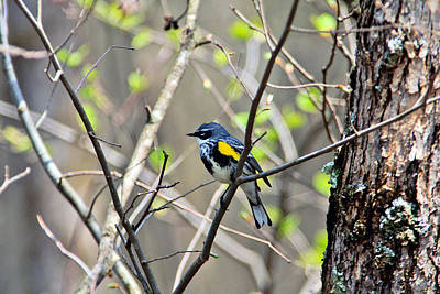 Yellow Rumped Warbler Photograph - Yellow-rumped Warbler by Bill Morgenstern