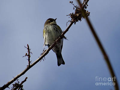 Photograph - Yellow-rumped Warbler by Christopher Plummer