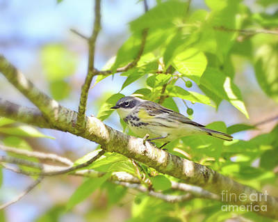 Photograph - Yellow-rumped Warbler Close Up by Kerri Farley