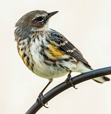 Photograph - Yellow-rumped Warbler by Jim Moore