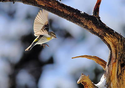 Photograph - Yellow-rumped Warbler Landing by Daniel Reed