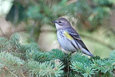 Photograph - Yellow-rumped Warbler by Michael Peychich