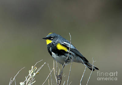 Art Print featuring the photograph Yellow-rumped Warbler by Mike Dawson