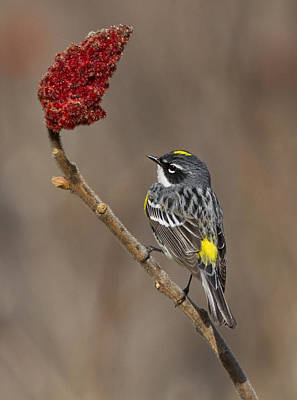 Yellow Rumped Warbler Photograph - Yellow-rumped Warbler by Mircea Costina Photography