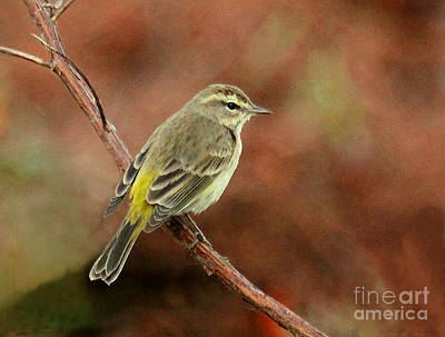 Photograph - Yellow-rumped Warbler by Myrna Bradshaw