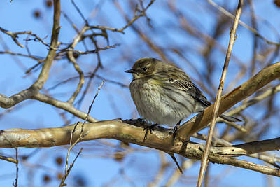 Photograph - Yellow-rumped Warbler Perched by Liza Eckardt