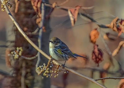 Photograph - Yellow Rumped Warbler by Ron Grafe