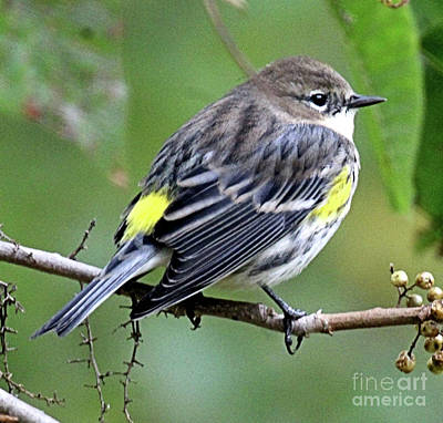 Yellow Rumped Warbler Art Print
