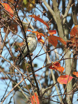 Photograph - Yellow Rumped Warbler - Winter by Jayne Wilson