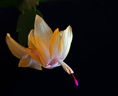 Photograph - Yellow Schlumbergera Or Christmas Cactus by Winston D Munnings