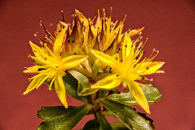 Yellow Sedum Flower Cluster Upclose Art Print