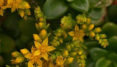 Photograph - Yellow Sedum by Richard Brookes