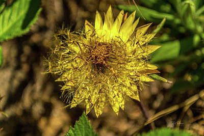 Photograph - Yellow Seed Burst by Bill Posner
