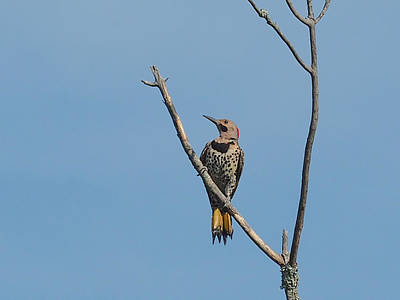 Photograph - Yellow Shafted Flicker Front by Paula Ponath