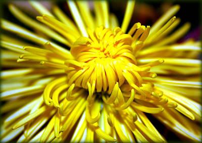 Photograph - Yellow Spider Mum by Susie Weaver