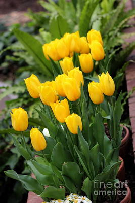 Photograph - Yellow Spring Tulips by Angela Rath