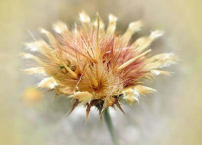 Photograph - Yellow Star Thistle by Valerie Anne Kelly