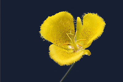 Line Drawing Quibe - Yellow Star Tulip - Calochortus monophyllus by Christine Till