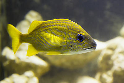 Photograph - Yellow Striped Fish by Bob Slitzan