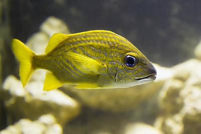 Photograph - Yellow Striped Fish by Bob Slitzan
