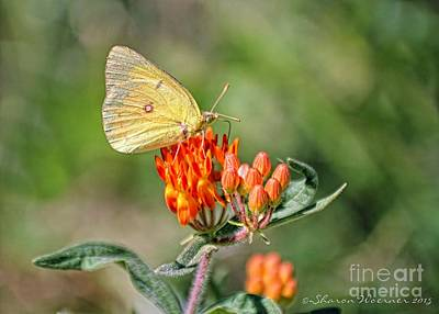 Photograph - Yellow Sulphur Butterfly by Sharon Woerner