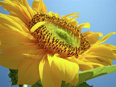 Sunflowers Royalty-Free and Rights-Managed Images - Yellow Sunflower Blue Sky art prints Baslee Troutman by Baslee Troutman