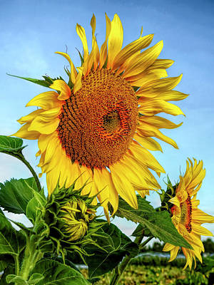 Photograph - Yellow Sunflower by Daniel Hagerman