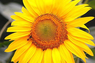 Yellow Sunflower With Bee Art Print by Amy Fose