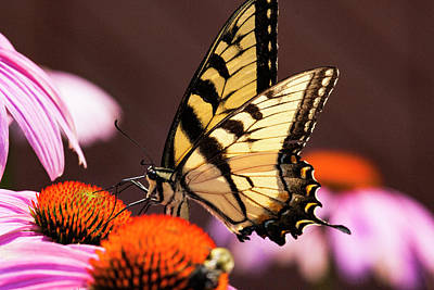 Photograph - Yellow Swallowtail 4 by Pete Federico