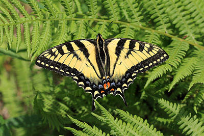 Photograph - Yellow Swallowtail Butterfly In The Woods Of Sherbrooke Quebec Canada by Pierre Leclerc Photography