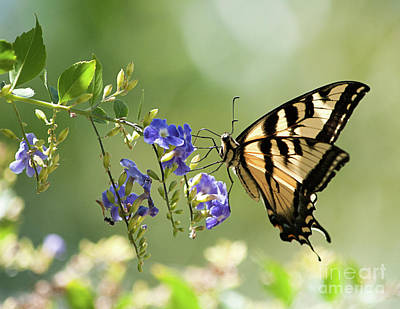 Yellow Swallowtail Butterfly On Duranta Original by Cathie Moog