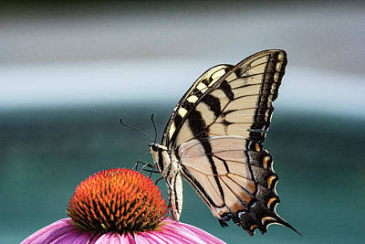 Photograph - Yellow Swallowtail II by Pete Federico