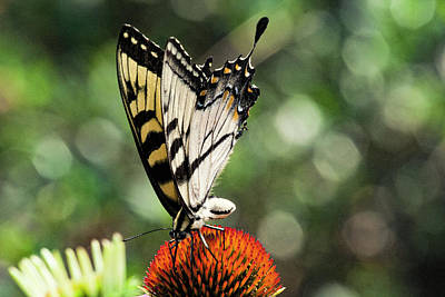 Photograph - Yellow Swallowtail 3 by Pete Federico