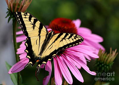 Photograph - Yellow Swallowtail by Kenny Glotfelty